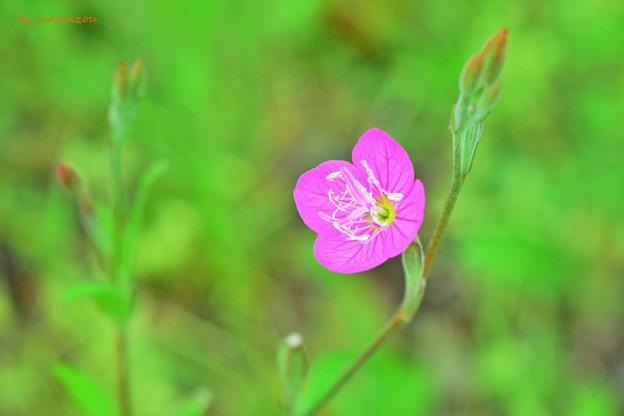 写真: ピンクの妖精