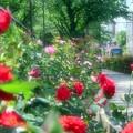 写真: バラの小路
