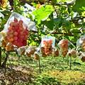 写真: ぶどう園