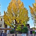 写真: 銀杏の木の下で(1)