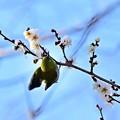 Photos: 白ウメジロ