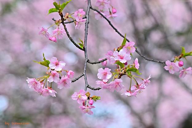 写真: さくら咲く~♪