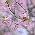 Photos: さくら咲く~♪