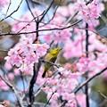 写真: 春爛漫めじろ