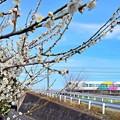 Photos: 白梅と武田菱