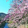 Photos: 高尾山の桜