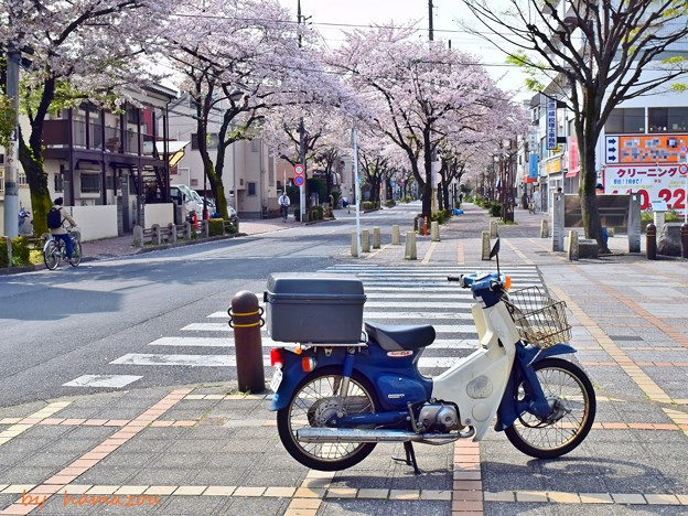 Photos: スーパーカブと桜