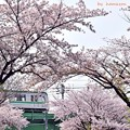 Photos: 桜に包まれて