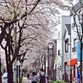 Photos: 恋桜の街