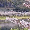 旬過の桜沿線