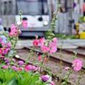 Photos: 立葵と=^_^=
