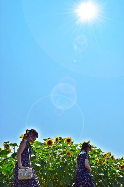 Photos: 陽光のひまわり