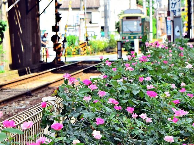 真夏のバラ