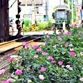 Photos: 真夏のバラ