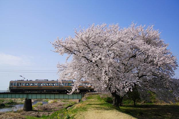 満開の桜の下を走る211系