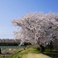 Photos: 満開の桜の下を走る211系