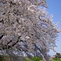 満開の桜に向かって211系が走る