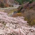 Photos: 桜の諏訪峡を往くTRAIN SUITE 四季島 1