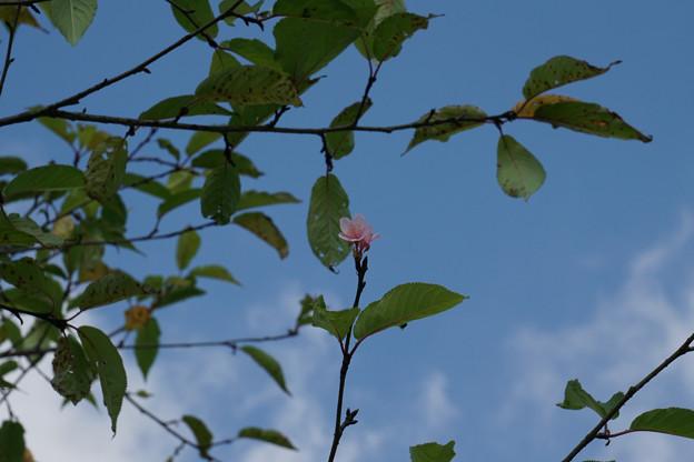 写真: 春と間違えた桜
