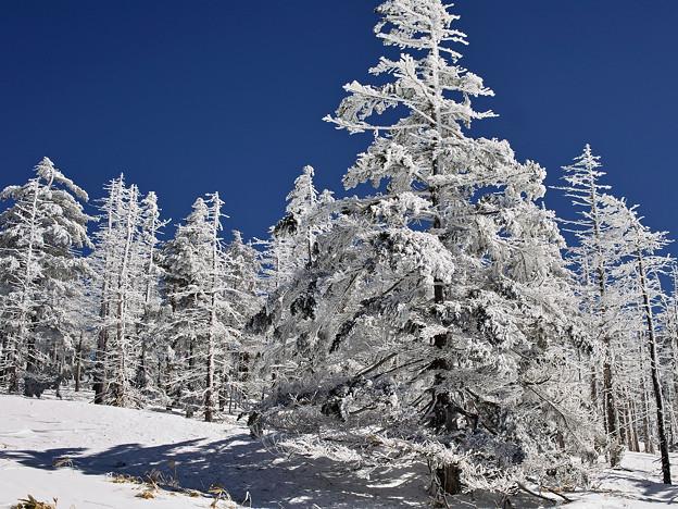 白い木立4