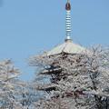 写真: 桜と五重塔