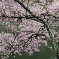 写真: 水辺の桜
