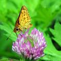 写真: セセリ蝶