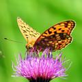 Photos: 花に止まった蝶