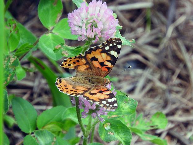 吸蜜中の蝶