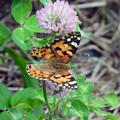 写真: 吸蜜中の蝶