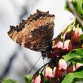 写真: 毛深い蝶