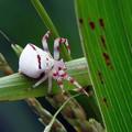 写真: 白い蜘蛛