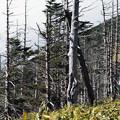 山の枯れ木