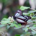 Photos: 遠来の蝶