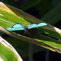 Photos: 光る蝶