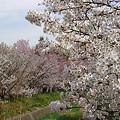 Photos: 『チシマ桜』DSC00080