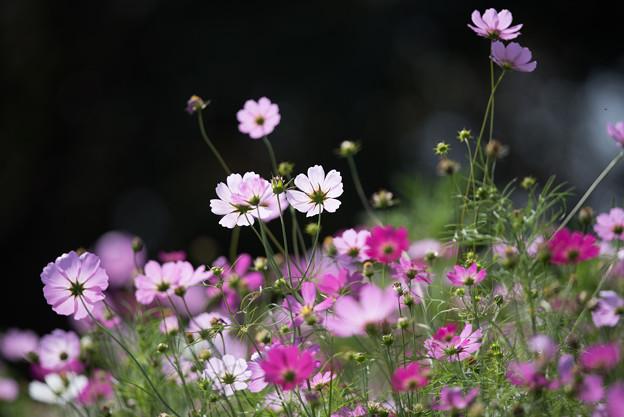 【昭和記念公園(花の丘「黒の背景」】1