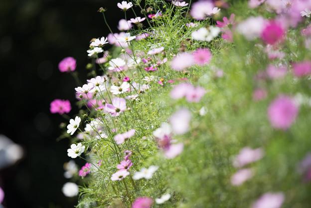 【昭和記念公園(花の丘「黒の背景」】2