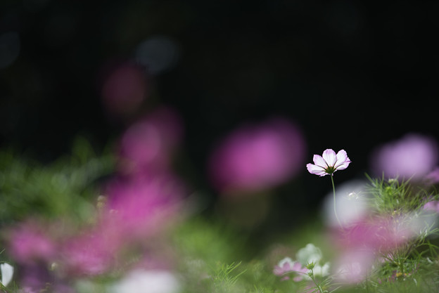 【昭和記念公園(花の丘「黒の背景」】3