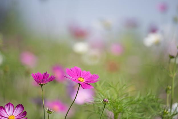 【昭和記念公園(花の丘「緑の背景」】1