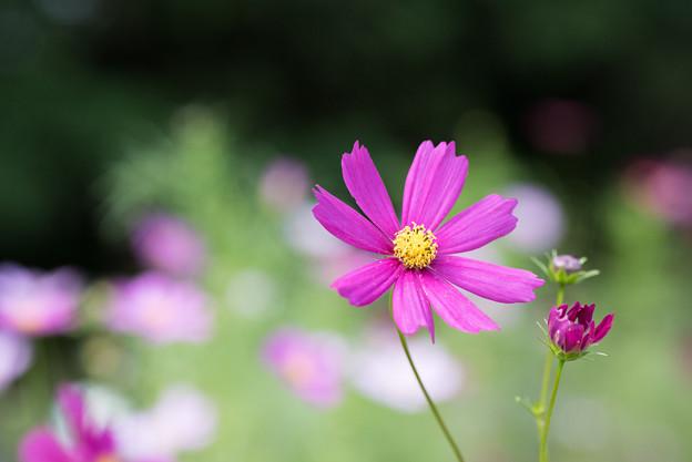 【昭和記念公園(花の丘「ピックアップ」】1