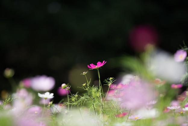 【昭和記念公園(花の丘「望遠で」】1