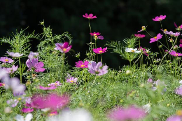 【昭和記念公園(花の丘「望遠で」】2