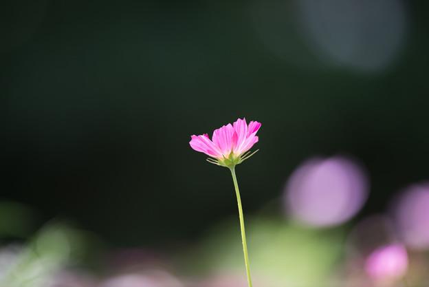 【昭和記念公園(花の丘「望遠で」】3