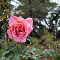 Photos: 【神代植物公園(新品種H26_1412)】
