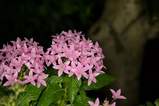 【庭の花(ペンタス)】1