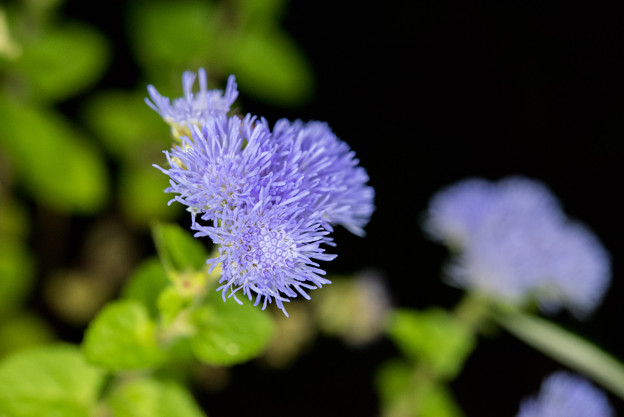【庭の花(アゲラタム)】1