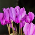 【庭の花(シクラメン)】2
