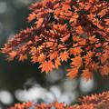 【昭和記念公園(日本庭園の紅葉ピックアップ)】5