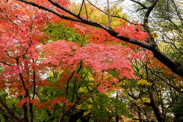 【昭和記念公園(日本庭園の紅葉ピックアップ)】6